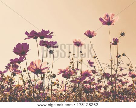 Pink cosmos (bipinnatus) flowers against the bright blue sky. Cosmos is also known as Cosmos sulphureus Selective Focus Late Color Tone