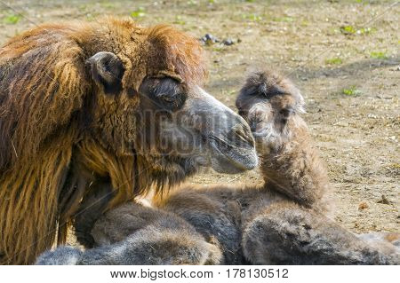 Bactrian or two-humped camel calf - Camelus bactrianus - soon after birth and his mother