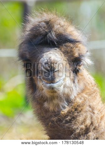 Bactrian or two-humped camel calf - Camelus bactrianus