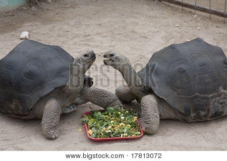 Two Giant Tortoises Talking