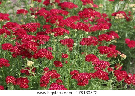 Red Achillea millefolium common yarrow wild flower in the field