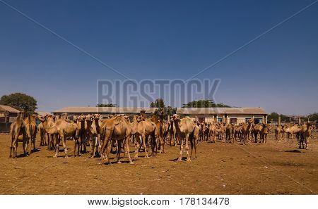 Camels in the camel market Hargeisa Somalia