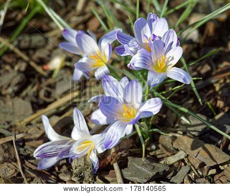 Close-up of saffron flowers. Macro greenery background with violet crocuses. Shallow depth of field.