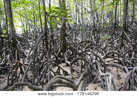 Mangroves Forest At Curieuse Island, Seychelles