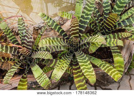 Closeup To Beautiful Zebra Bromeliad/ Livingvase/ Urn Plant/ Aechmea Fasciata/ Bromeliaceae