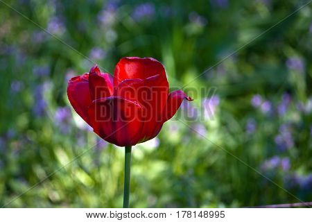 one red tulip on a green background