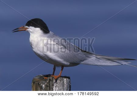 A Forster's Tern, Sterna forsteri in breeding plumage standing on a post near the ocean poster