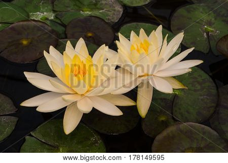 Closeup To Beautiful Water Lily/ Nymphaea Lotus/ Nymphaeaceae
