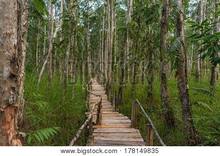 Raised Wooden pathway through dense mangroves forest.
