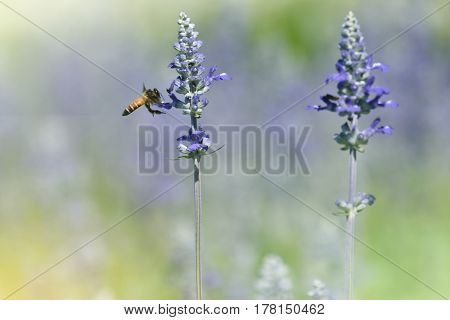 Bee in a field of flower blue salvia