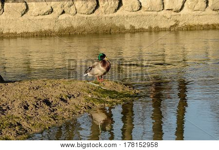 A duck stands in mud at the bank of a brook