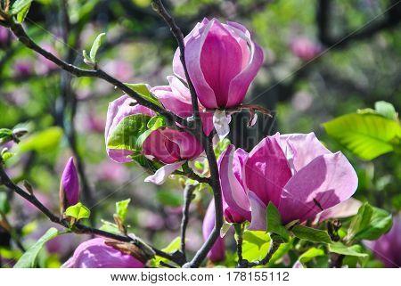 Close-up of pink magnolia flowers on a brunch at botanical garden Kyiv Ukraine.