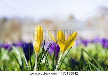 Yellow Crocuses in spring. Yellow Crocuses. Crocuses in the morning light. Crocuses on a meadow