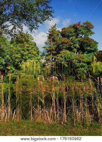 cattails growing bby a pond in early autumn