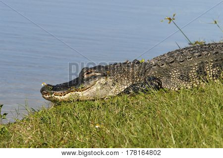 An American Alligator along the shoreline of a freshwater pond in Florida.