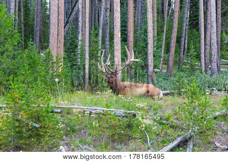 Bull elk resting in green forest of tall trees