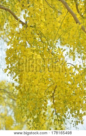 Golden Shower or Cassia Fistula is bloom in tree