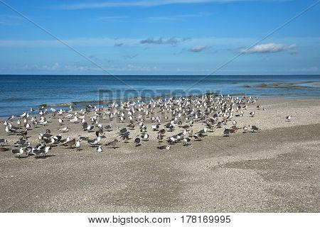 Flock of Seagulls on the Beautiful Coastline of Anna Maria Island Florida