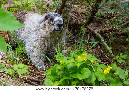 Hoary marmot searching for food in undergrowth