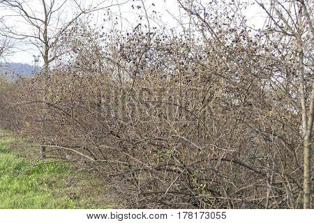 Bushes In The Beginning Of Spring