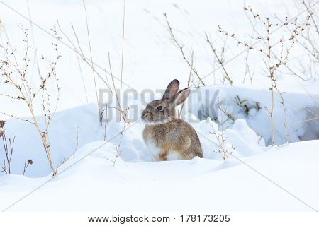 Cottontail rabbit sitting in snow covered field