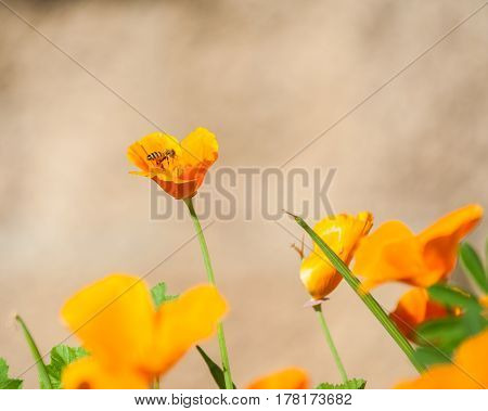 California poppies in full bloom attracting bees in Spring.