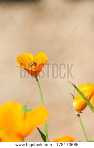 California poppies in full bloom with bee in middle in Spring.