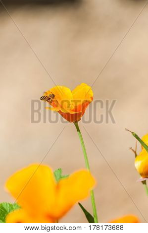 California poppies in full bloom with bee approaching in Spring.