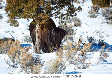 Bison scratching against small tree in snow covered field of sagebrush