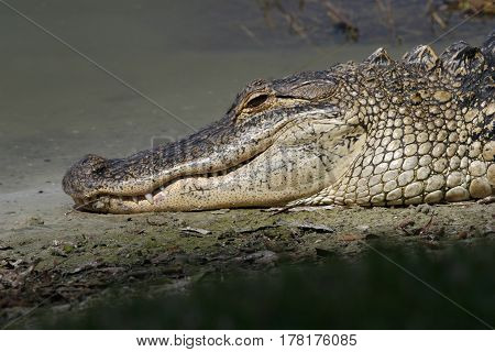 An American Alligator, Alligator mississippiensis along the shoreline of a freshwater pond in Florida.