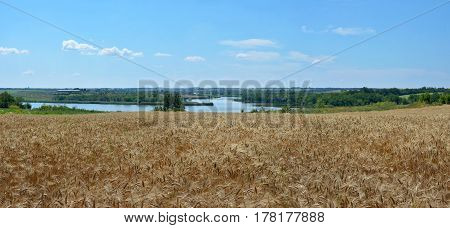 Panoramic view of the golden wheat field with river on the background. Rural scene. Summer landscape.