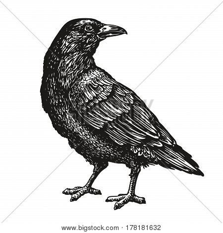 Hand-drawn black crow. Bird sketch, vector illustration isolated on white background