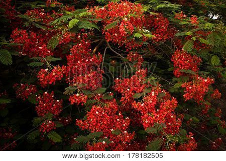 Branches of a tree with many small brightly red flowers