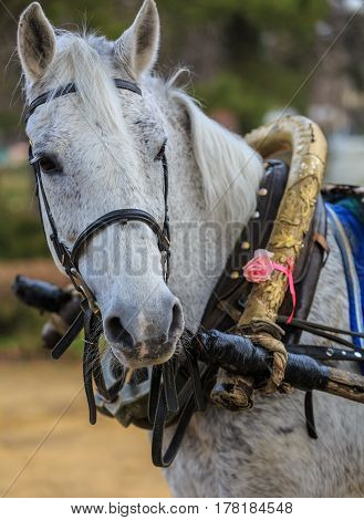 Portrait of the gray horse in old harness