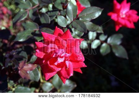 A red double knockout rose blooms in a garden in Joliet, Illinois during September.