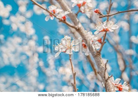 Spring flowers apricot tree close up on blurred background blossoming orchard and blue sky. Photo toned selective focus