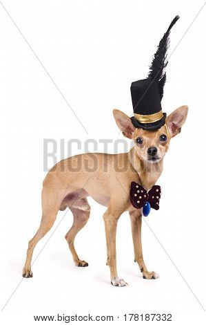 portrait of the nice terrier in a top hat