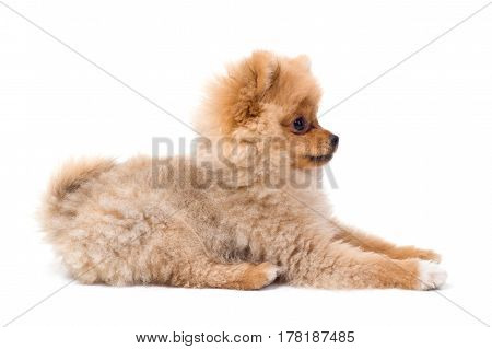 Pomeranian (spitz) dog, isolated on white background.