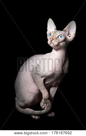 Young canadian sphinx cat on black background
