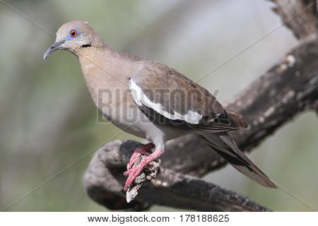 White-winged Dove (Zenaida asiatica) on a branch in a tree
