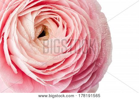 Fresh ranunkulus flower with waterdrops isolated on white background. Top view with space
