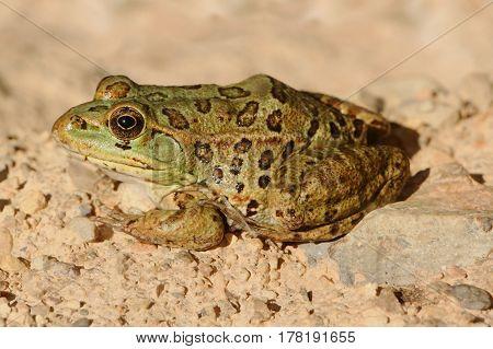 Endangered Chiricahua Leopard Frog (Lithobates chiricahuensis) in Arizona
