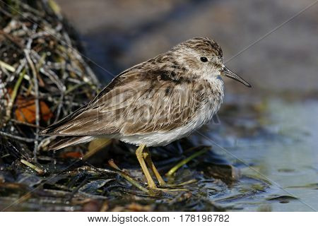 A Least Sandpiper, Calidris minutilla by the side of a mudflat in Florida