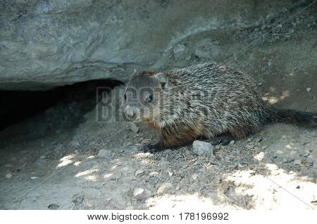 ground hog rodent cute animal rock park