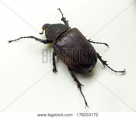 Coconut rhinoceros beetle Rhino beetle