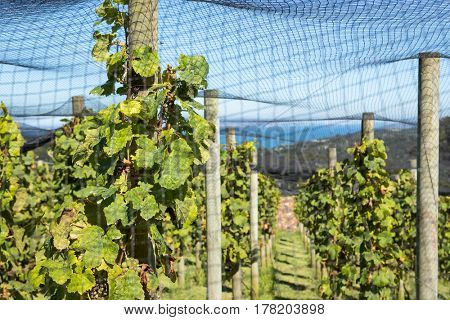 Vineyard grapevines under protective nets