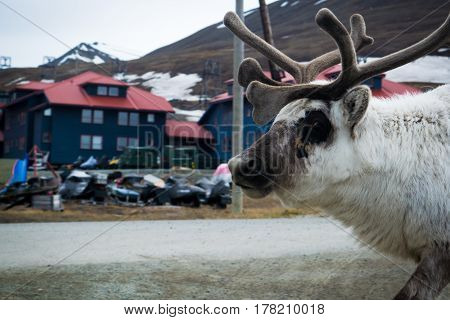 A reindeer looking in camera at Svalbard