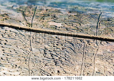 bark beetle pattern on the wood from