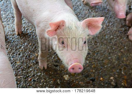 The Pig Sleeping