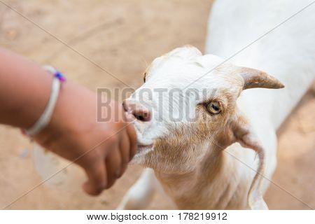 The goat is beind fed. close up.